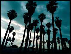 Indio's Greyhound Palm Trees photo by TheJudge310