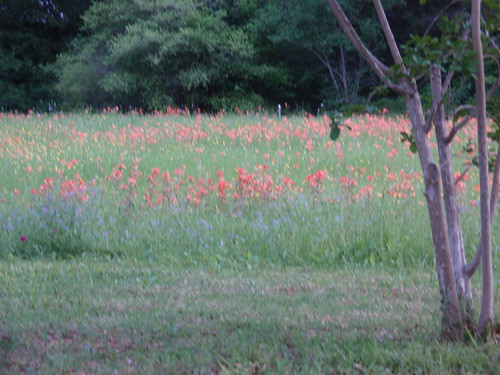 Blurry Field of Flowers