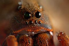 Lycosa erythrognatha photo by Techuser
