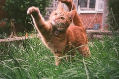 Action Gingercat photo by Fieldy.
