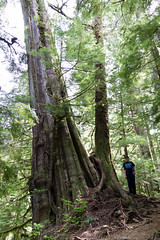 Old Growth Fir