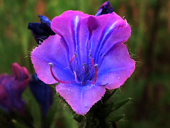 Echium plantagineum *  flor morada photo by jacilluch