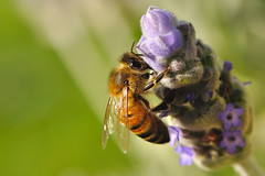 Lavender Honey Bee photo by Tortie_cat
