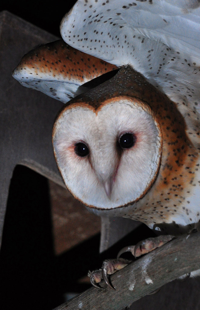 Watchful Young Barn Owl photo by Bill Gracey