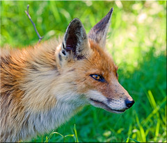 Fox en face photo by Patrick Berden