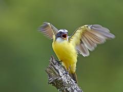 Bentevizinho-de-penacho-vermelho (Myiozetetes similis), Social Flycatcher. photo by claudio.marcio2