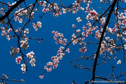 Cherry Blossom photo by Thelma Gatuzzo