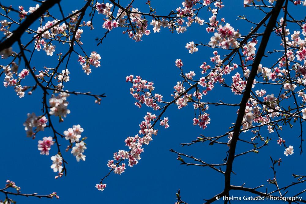 Cherry Blossom photo by Thelma Gatuzzo