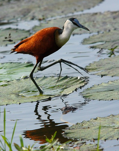 African Jacana (Actophilornis africana) photo by Rosa Gamboias