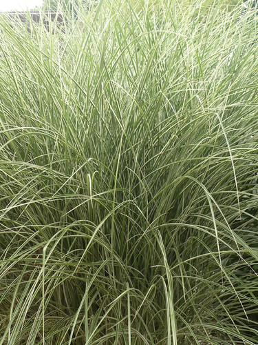 miscanthus cosmopolitain