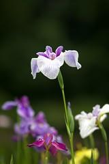 Iris #1 photo by kura51