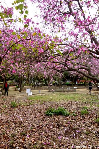 08_台南公園羊蹄甲