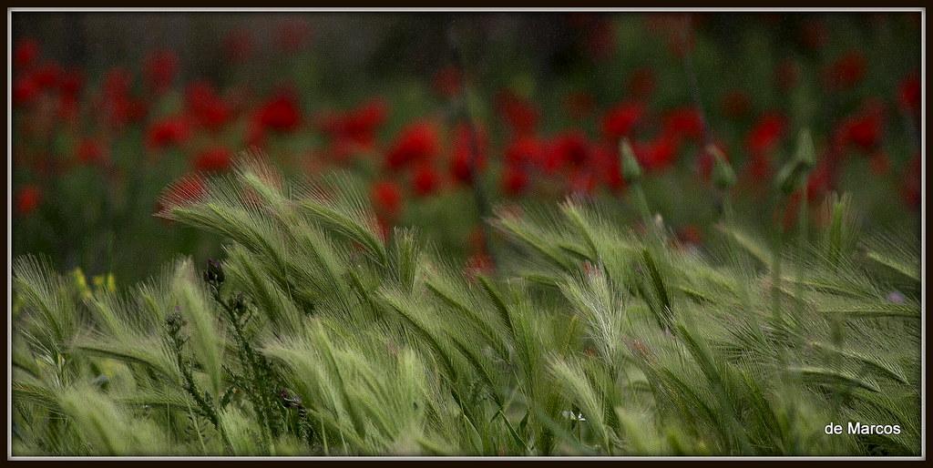 AMAPOLEANDO 5 photo by segunsanmarcos
