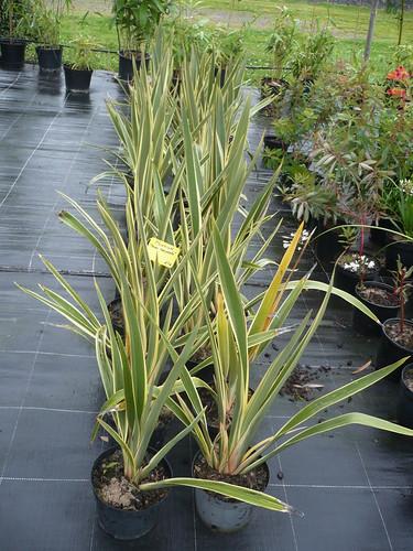 phormium tenax.variegatum