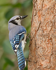 Blue Jay photo by DMF Photography