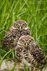 owls photo by photocat001