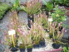 sarracenia hybrid (insectivore)