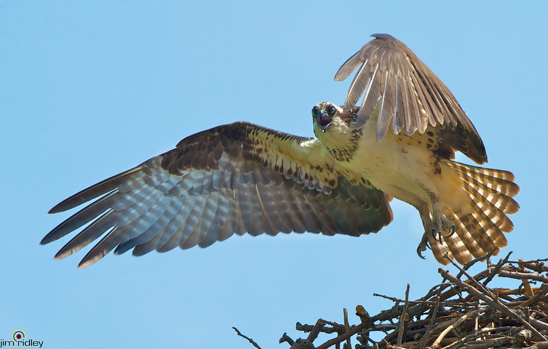 Hot Day For Osprey! photo by JRIDLEY1