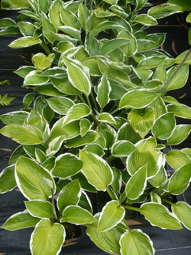 hosta.wide brime