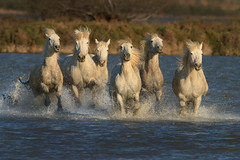 White horses of Camargue, France photo by debbie_dicarlo