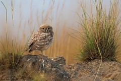 Little Owl (Fledgling) - Athene noctua photo by doritbz