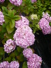hortensia boule