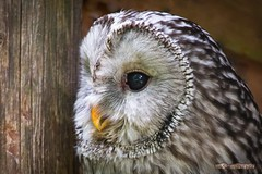 Streifenkauz / Barred Owl (explored) photo by burnett0305