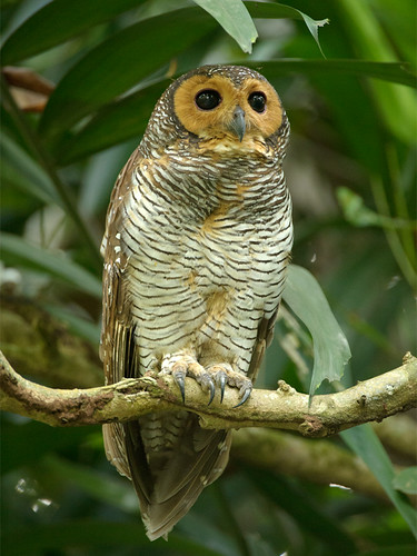 Spotted Wood Owl _ PRP ' ¤ photo by mahi_mahi_163 (450k view counts)