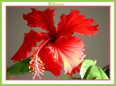 Hibiscus Spendor photo by bigbrowneyez
