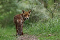 Red Fox photo by GreenDreamsPhotography
