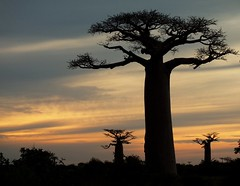 Baobabs photo by Sandra A.-B.