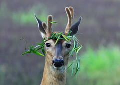 A Real Party Animal - Whitetail Buck photo by Lifeinthenorthwoods.com
