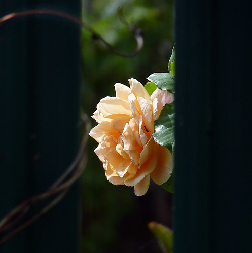 Rose behind a fence... photo by maggie224 -