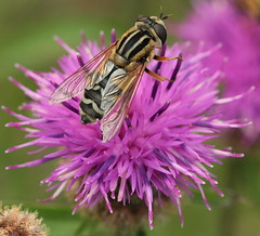 Canon EOS 60D.Canon EF-S 60mm Macro Lens.Female Sunfly (Hoverfly) On A Knapweed Flower August 28th 2012. photo by Blue Melanistic.Four And A Half Million Views.