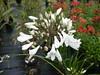 agapanthe africanus albus