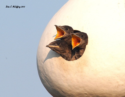 Purple Martin babies... Explored photo by delrcher