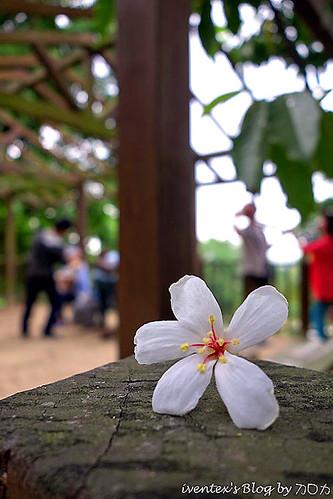 15_2014雲林縣古坑荷苞山客家桐花祭