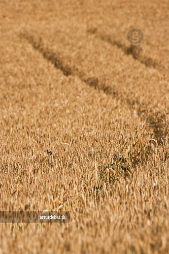 Wheat Field photo by ¡arturii!