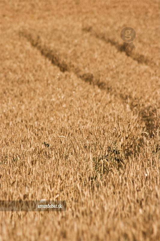 Wheat Field photo by ¡arturii!