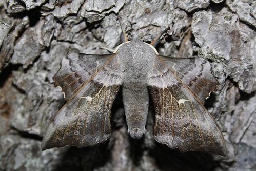 Poplar Hawkmoth photo by erikpaterson