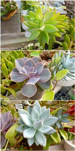 53_台北士林社子台北花卉村石蓮花