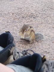 Curieux écureuil coréen