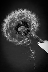 Dandelion Macro photo by Kingsley Swamidoss