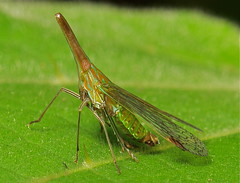 Long Nosed Planthopper (Dictyophara nakanonis, Dictyopharidae) photo by John Horstman (itchydogimages, SINOBUG)
