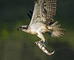 Osprey (Blue XD) with fish close up photo by Margaret J Walker