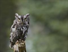 Eastern Screech Owl 31 [Explored] photo by Jen St. Louis
