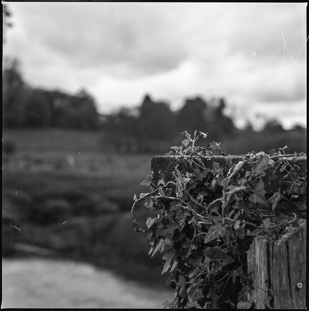Midhurst vines