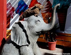 Seara (sea rabbit) and an elephant at the Venice Beach boardwalk in Los Angels, California on November 19, 2012. Seara and Dr. Takeshi Yamada visited Los Angels for the filming of the new AMC cable television show, IMMORTALIZED. photo by searapart18