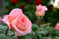 Pink Rose photo by JSB PHOTOGRAPHS
