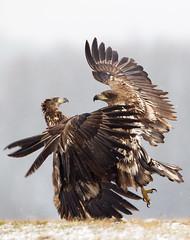 White-Tailed Sea Eagles photo by Aidan Finn